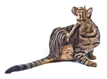 kissan ihosairaudet