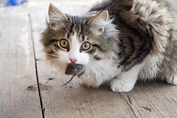 suolinkainen kissalla